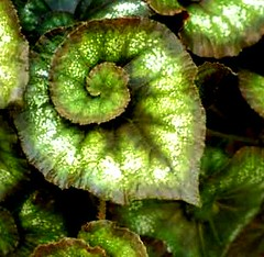 curled up (Vina the Great) Tags: plant green nature leaf fractal curled curl fractalicious