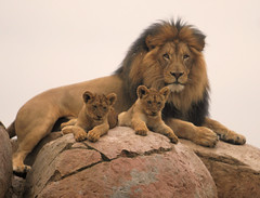 Izu with two of his seven cubs (kjdrill) Tags: california park wild usa cats animal mom dad sandiego african father lion mina lions fv10 cubs exoticcats bigcats izu offspring escondido parkstock 100faves sanpasqualvalley specanimal oshana animalkingdomelite specialpicture itsazoooutthere 7616a naturescreations flickrbigcats