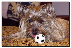 Virgil, The Little Rascal (Fraggle Red) Tags: dog tongue ball puppy bed raw florida terrier virgil cairnterrier coconutgrove adobelightroom canonefs1785mmf456isusm ilovemypic miamidadeco
