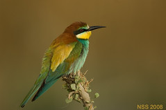 (N-S-S) Tags: bird birds nikon sigma kuwait nikkor  nasser 800mm  nss    vwc        kvwc    alslihem