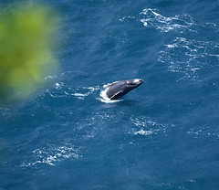 Humpback Whale Calf (na kohola) Endangered Maui Hawaii (William  Dalton) Tags: sea nature hawaii maui whale whales humpbackwhale endangeredspecies endangeredwhales hawaiianhumpbackwhales