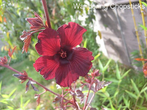 Jungle Red Hibiscus 3