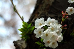 Cherry Blossoms (swilton) Tags: flowers trees toronto ontario cherry spring nikon highpark bokeh cherryblossoms manual blooms 50mm18 d40x photofaceoffwinner pfogold