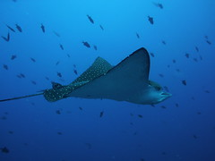 Spotted eagle ray (Spotted drum  (on & off)) Tags: ocean blue sea vacation fish macro beautiful underwater pacific scubadiving palau micronesia naturesfinest spottedeagleray digitalcameraclub anawesomeshot flickrelite naturewatcher