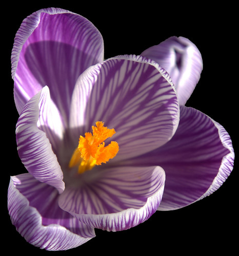 Purple & Yellow Flower on Black by papalars.