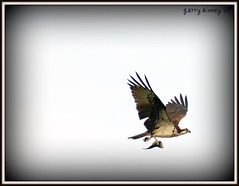 Fish - the other white meat (Garry's lens....) Tags: lake fish bird nature beauty outdoors raptor osprey
