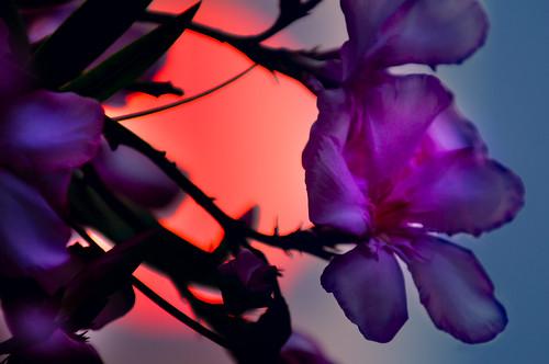 Azalea Sunset