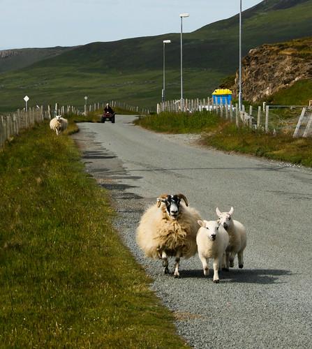 Modern shepherding