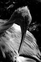 Pelican Black & White (Laszlo Photography) Tags: vienna summer bw sun birds animals zoo austria tiere nikon sommer pelican sonne laszlo pgw d80 flickrsbest goldstaraward damniwishidtakenthat dragondaggerphoto wwwwebguruat webguruphoto onwebguru