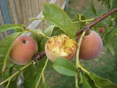 Birds & Ants Eat Peaches