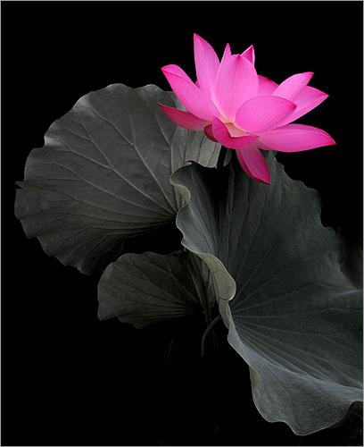Flower / Lotus Flower / Pink Flower / pink /  - زهرة اللوتس, ハスの花, 莲花, گل لوتوس, Fleur de Lotus, Lotosblume, कुंद, 연꽃