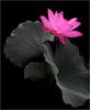 Flower / Lotus Flower / Pink Flower / pink /  - زهرة اللوتس, ハスの花, 莲花, گل لوتوس, Fleur de Lotus, Lotosblume, कुंद, 연꽃 (Bahman Farzad) Tags: china pink red summer india inspiration flower macro nature fleur yoga tattoo de thailand truth key colorful cambodia peace lotus blossom relaxing calming peaceful lo teacher pinkflower sacred meditation therapy budha elegant inspirational spiritual simple hindu soulful heavenly buda tatto peacefulness devine 莲花 گل lotusflower therapist lotusflowers mouseion flowerpink lotuspetal 연꽃 pinklotusflower lotuspetals कुंद lotosblume fleurdelotus ハスの花 زهرةاللوتس natureselegantshots لوتوس soulfulflower گللوتوس lotusflowerpetals lotusflowerpetal