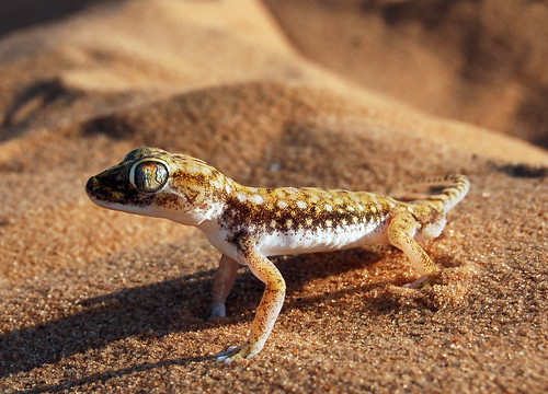 stenodactylus_petrii