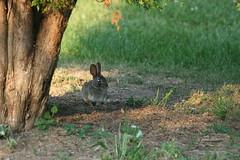 IMG_3557 (Blackavar Lion) Tags: rabbit bunny animal evening conejo wildlife coelho  lapin watershipdown kaninchen    canonrebelxti  2be2176f59cfac7c3f99b44a73b29c9b