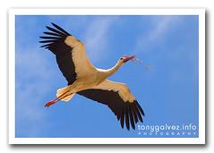 cigüeña / stork