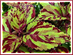 Coleus 'Careless Love', a recent addition to our tropical garden