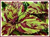 Solenostemon scutellarioides (Coleus, Flame/Painted Nettle, Painted Leaves)