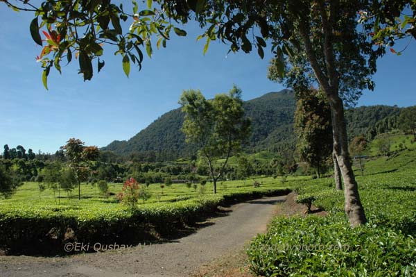 Ciwalini Tea Plantation