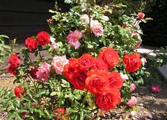 Roses - San Diego (domegrp2) Tags: california ca flowers rose garden sandiego salveanatureza