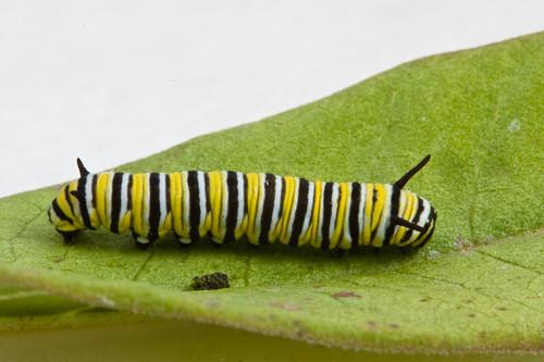 Monarch Butterfly (Danaus plexippus) - 3rd Instar