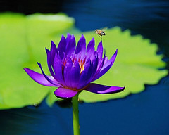 WaterLily_11