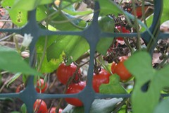 the tomatoes behind the mesh walls of the compost bin