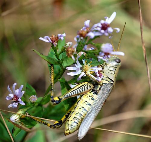 grasshopper along Cannon Valley Trail