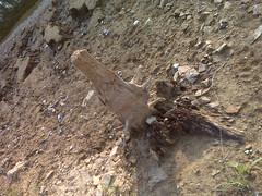 Another dead tree (Clevergrrl) Tags: georgia mud stuck augusta quicksand clarkshill thurmondlake