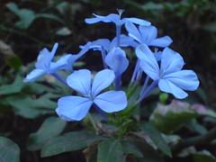 Nila chitrak (girishkatke) Tags: india flora k750i sony sonyericsson maharashtra mumbai plumbago gk capeleadwort nilachitrak