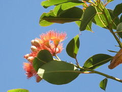 red flowering gum (cskk) Tags: pink flowers blue red flower green australian australia eucalyptus nativeplants bloodwood myrtaceae redfloweringgum corymbia ficifolia corymbiaficifolia