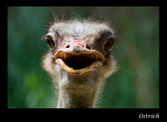 Ostrich - Jurong Bird Park, Singapore (Souvik_Prometure) Tags: singapore ostrich jurongbirdpark jurong birdpark souvikbhattacharya