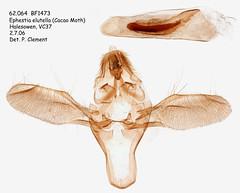 62.064  BF1473 Ephestia elutella_M (Cacao Moth) (Patrick Clement.) Tags: moth slide microscope genitalia