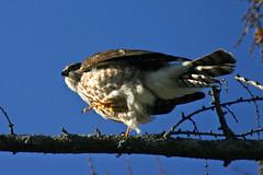 Backyard Visitor III (James Patterson) Tags: bird nature canon backyard hawk wildlife raptor urbannature predator birdofprey coopershawk