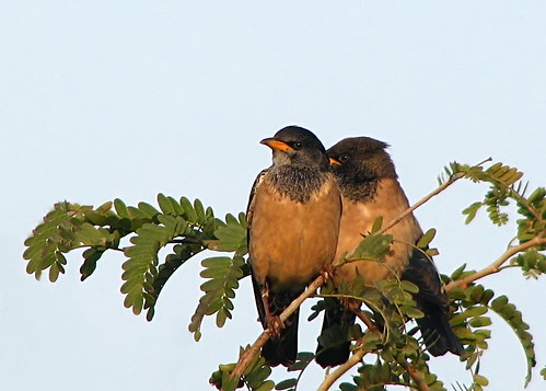 Rosy Starlings