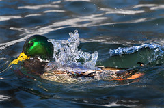 ~Dunking Duck~ (ViaMoi) Tags: winter ontario canada bird nature digital canon photography fly duck pond flickr photographer image action vibrant wildlife ottawa capital flight ducks canadian landing mallard drake waterfowl hen 2008 imagery imagist ottawacanada aplusphoto viamoi onephotoweeklycontest photographybyviamoi flickrlovers