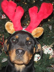 Deacon Christmas 2008 (luvmyrotty) Tags: christmas dog snow butterfly puppy walk rip bone rottie callie deacon sabastian rotties