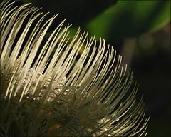 (Vicki & Chuck Rogers) Tags: flower arboretum ucsc