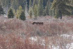 Moose DSC_0576 (Ron Kube Photography) Tags: wild canada nature animal fauna mammal outdoors nikon moose alberta banff banffnationalpark bowvalleyparkway moosemeadows southernalberta d80 nikond80 ronaldok ronkubephotography