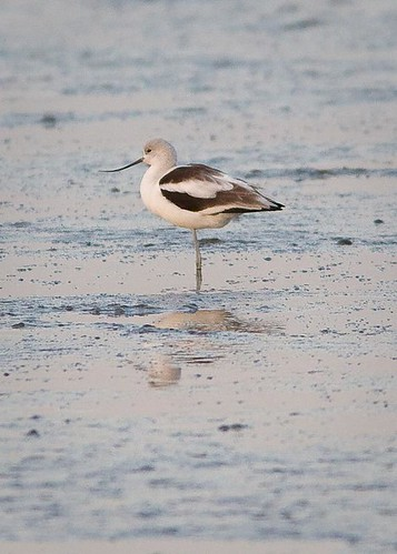 American Avocet by you.