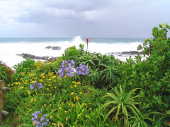 South Africa Stormy Day At Stormsriver Mouth (doc.holiday41) Tags: africa trip travel flowers sea plants southafrica coast reisen meer pflanzen stormy explore lilies viagem afrika sdafrika tsitsikamma kste lilien brandung vacationes stormsrivermouth freias wonderfulworldofflowers stormsrivermndung blmuen