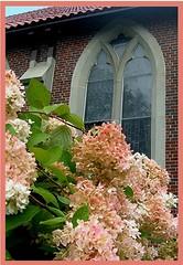 Hydrangeas & Stained Glass (Maureclaire) Tags: pink flower church fleur bush blossom flor stainedglass blomma hydrangea fiori shrub 花 blume blomst bulaklak bloem hortensia çiçek kwiat lule цвет цветок λουλούδι květina цвете फूल квітка kukkien virága