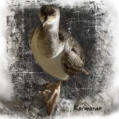 Cormorant (Collin Key (very busy)) Tags: spain cormorant immature juvenile mallorca esp kormoran collinkey