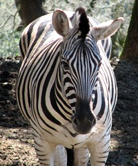 Damara Zebra (Just chaos) Tags: stripes zebra animalia mammalia equus safariwest damara quagga equidae chordata perissodactyla antiquorum hippotigris