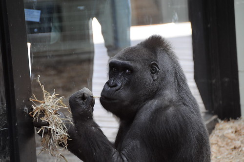 Gorilla_@_London_Zoo