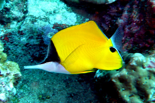 Longnose Butterflyfish on Similan Islands