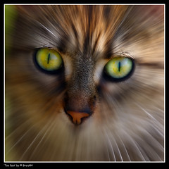 Buddy icon? ( Pere Soler) Tags: nature cat eyes bravo avatar icon buddy gato gat supershot allrightsreserved abigfave bestofcats anawesomeshot megashot braid44 photoshopcreativo peresoler