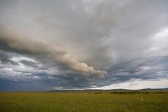 storm with cheetah (misslynn) Tags: africa storm rain animal clouds kenya wildlife horizon safari day1 cheetah plain speck masaimara safariweek therebeastormabrewin