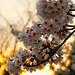 姫路城:夕日の桜 Cherry blossoms at sunset