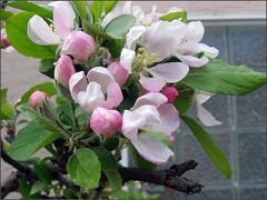 Apple Blossoms, 2008