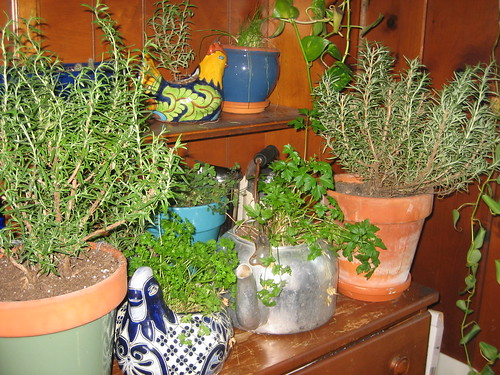 the overwintered herbs